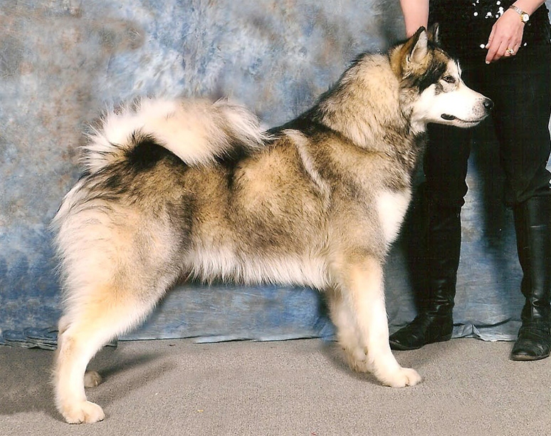 Photos of Alaskan Malamutes.