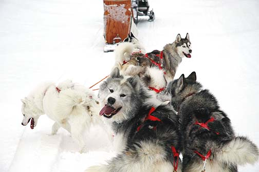 Canadian Eskimo Dog photos, information and more. The CED is also known as the Inuit dog, qimmiq or  kimmik.