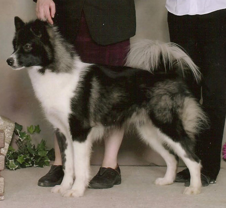 Arctic Ice Canadian Eskimo Dogs, Arcticice Alaskan Malamutes, Wolfwalker Siberian Huskies. Puppies, Adults, Information. Top champion likes, wonderful temperaments and stunning beauty