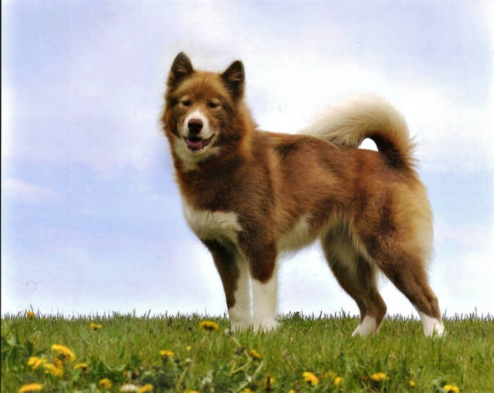 Canadian Kennel Club registered Canadian Eskimo Dogs.